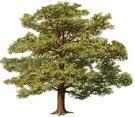oak_tree.jpg